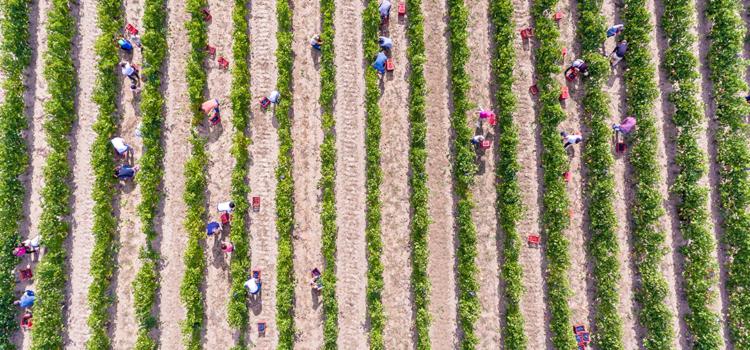 Ce pregătește Olanda pentru îmbunătățirea situației muncitorilor sezonieri